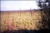 Панорама непроходимого болота на перегоне Талицы·Южа